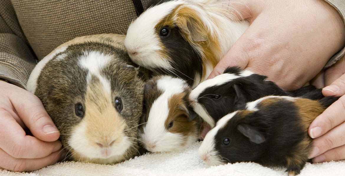Guinea Pigs as Pets | News And Information | Oklahoma State University