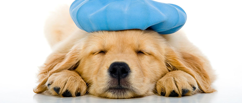 Battling a newer strain of canine influenza