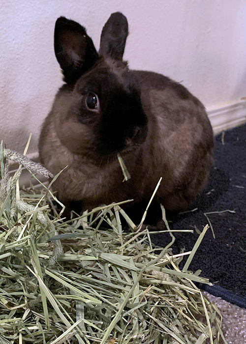 A rabbit eating hay