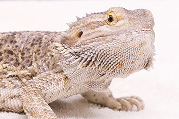 Spay and neuter advice goes for reptiles, too