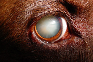 Clearing up canine cataracts