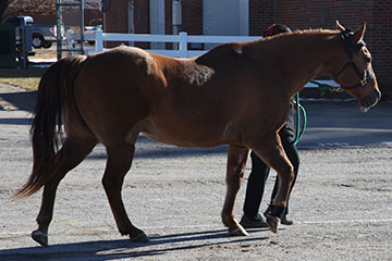 Taking the Guesswork out of Equine Lameness Detection