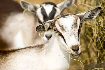 Grain Overload in Goats