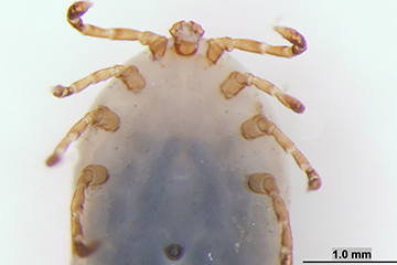 Oklahoma State Veterinary Center Identifies Exotic Tick
