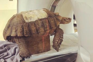OSU veterinarians tackle tortoise's troubles