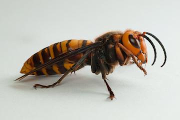 How to spot a 'murder hornet'