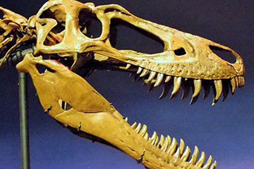 Researchers learn more about teenage T.rex