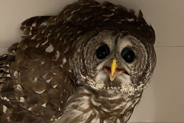 OSU Vet Med and Payne County Audubon Society Release Owl