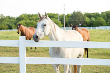 CBD and Chronic Pain in Horses