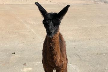 OSU veterinarians give baby llama new life