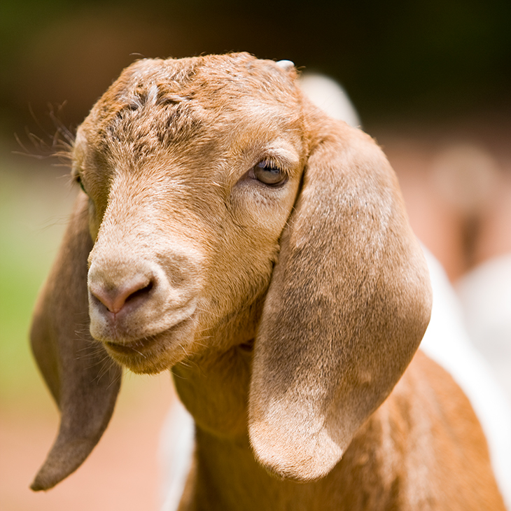 A picture of a goat