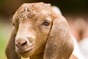 Veterinary Viewpoints: Controlling Internal Parasites in Sheep and Goats
