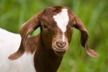 Veterinary Viewpoints: Top 10 Things You Need to Know about Goat Pneumonia
