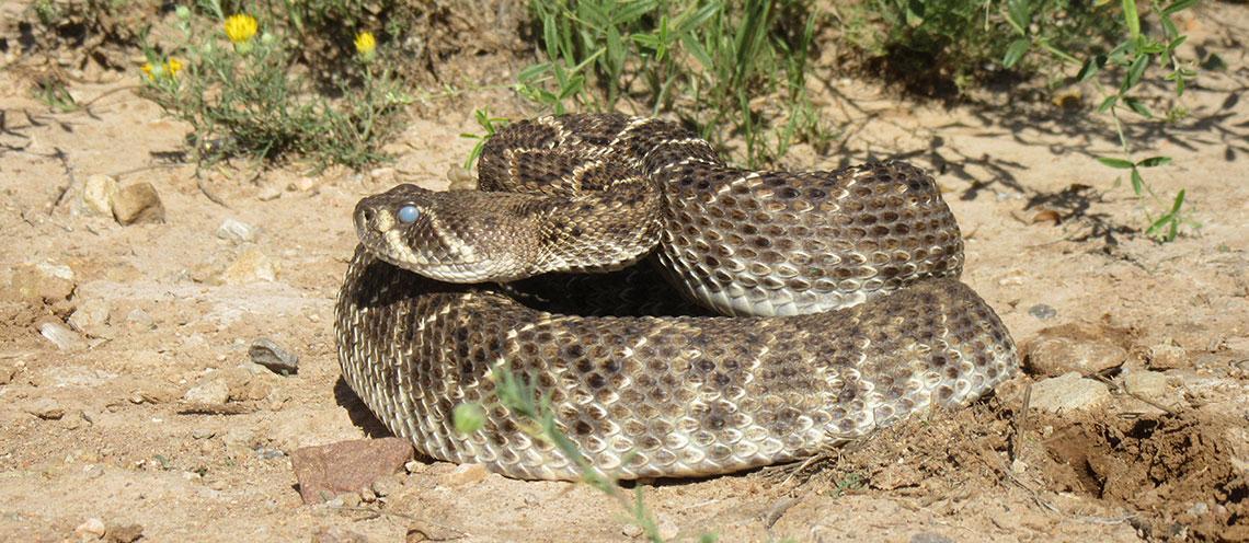 Snake Bites in Pets