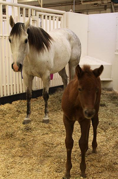 OSU Veterinarians Bring Mom and Baby Together