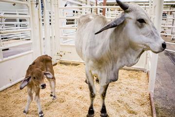 Evie's Calf