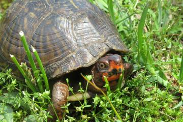 Box Turtles and People