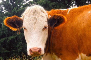 Managing Prolapses in Cows