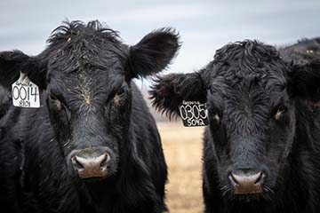 Veterinary Viewpoints: Disease Testing New Additions to a Herd