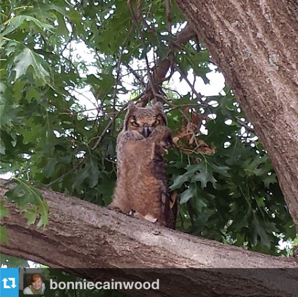 Say hello to #okstate's newest friend, a Great Horned Owl, nesting on campus. Photo by @bonniecainwood