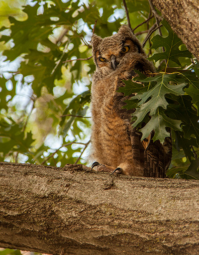 A Great Horned Owl has made the Oklahoma State University campus her home