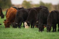 Beef herd rebuilding